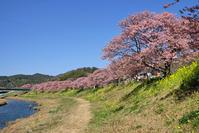 南伊豆の河津桜 - うひひなまいにち
