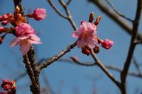 梅と河津桜 - 写真撮り隊の今日の一枚2