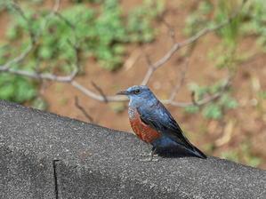嬉しい!!! やって来た!イソヒヨドリ   - シエロの野鳥観察記録
