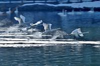 みちのく白鳥たち33 - みちのくの大自然