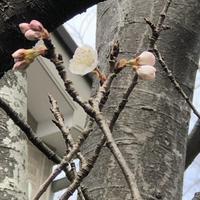 桜一輪 - みちくさ 摘み草 語りぐさ