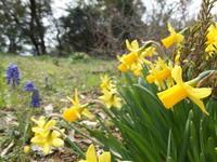 庭の健気な花たち - アオモジノキモチ