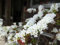 早春の庭~木に咲く花 - アオモジノキモチ