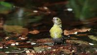 マヒワ雌の水飲み - Life with Birds 3