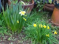 雑然とした庭に咲く水仙2ラッパズイセン(喇叭水仙) - 花と葉っぱ