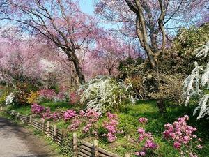 3/27~【京都】貸切タクシー/京都隠れた桜の名所「原谷苑」と嵐山桜巡り【3密対策】 -