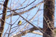 初めましての鳥さんは -カワラヒワ- - It's only photo 2