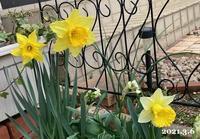 庭の水仙と、今日は - ひとり言