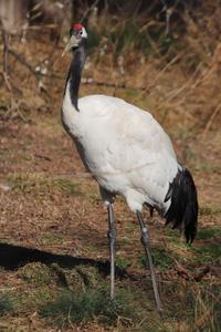 井の頭自然文化園の鳥たち~タンチョウとアオゲラと多彩な猛禽(February 2020) - 続々・動物園ありマス。