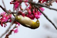 多々良沼の寒緋桜が2~3部咲きに。メジロの出番!♪LUMIX S5で撮る(^^; - 『私のデジタル写真眼』