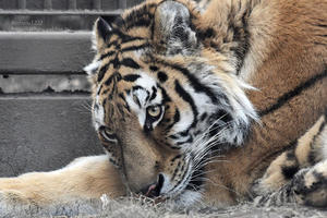 2021.1.11 宇都宮動物園☆アムールトラのアズサちゃん【Amur tiger】 - 青空に浮かぶ月を眺めながら