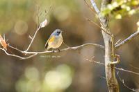 # ルリビタキ(N公園の子) - TORI たどり (小鳥、わんこ、写真 ♥)