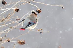 ヒレンジャク ~雪の高原の出会い~ - 小鳥の瞳に恋してる