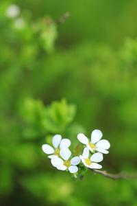 雪柳が咲き始めました@近所 - meの写真はザンス