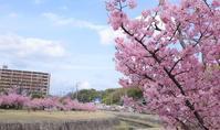桜散歩① - 猪こっと猛進