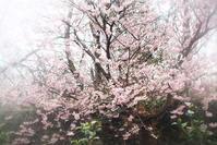 寒桜 - さぬき風花