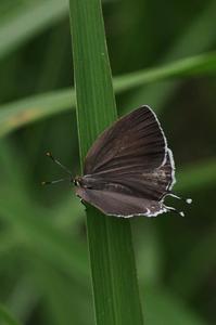 想い出の1枚の写真・・・ミズイロオナガシジミ - 続・蝶と自然の物語