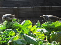 庭に来る野鳥 - ゆうゆう覚書