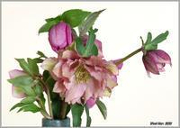 花瓶の中のクリスマスローズとネコヤナギ - 野鳥の素顔 <野鳥と日々の出来事>