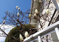 路傍の花、樹々の鳥(401)~辛夷咲きだす~ - 大屋地爵士のJAZZYな生活
