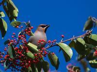 念願の・・・キレンジャク・ヒレンジャク。(至近編) - 鳥見んGOO!(とりみんぐー!)野鳥との出逢い