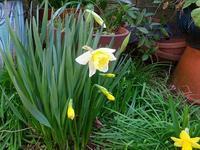 雑然とした庭に咲く水仙3タイハイスイセン(大杯水仙) - 花と葉っぱ