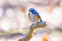 小春日和のルリビタキ(瑠璃鶲) - 野鳥などの撮影記録