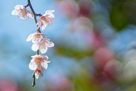 宝戒寺の枝垂れ梅 - エーデルワイスブログ