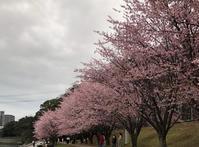桜 - 追憶の小箱