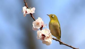 アンズの花にメジロ - akkyanの鳥撮リ行脚
