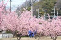 桜散歩② - 猪こっと猛進