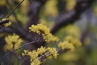 21年早春の自然(12)…庭のサンシュユ(2) - ふぉっしるもしてみむとてするなり
