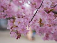 河津桜満開 - 三日おばさん