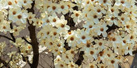 ハクモクレン - 12か月・写真を楽しむ