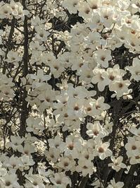 白木蓮が揺れる - kebun bidadari クブンビィダダリ