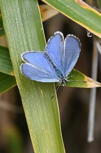 新生・・・ルリシジミ - 続・蝶と自然の物語