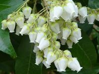 アセビとアケボノアセビまたはベニバナアセビ - 花と葉っぱ