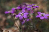 大仏と花 - summicron