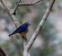 北摂山間の林道でルリビタキが・・・ - 一期一会の野鳥たち