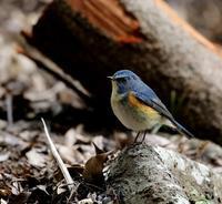 北摂山間での探鳥は・・・ - 一期一会の野鳥たち