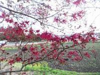 紅花常盤万作 - だんご虫の花