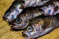 シリーズ・真夜中に魚を捌く・2・「15・16・17と」・メバル(アカ・シロ・クロ) - Shisen