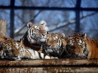 アムールトラの親子最後の団欒 - 動物園放浪記