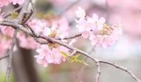 桜散歩③ - 猪こっと猛進