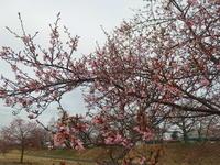 寒いけどお花見 - 小高い丘の麓から