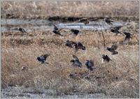 群れの中にホシムクドリがいた - 野鳥の素顔 <野鳥と日々の出来事>