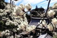 浮かぶように咲く白木蓮 - やきとりブログ