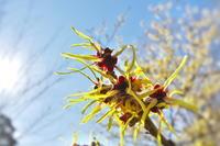 真冬でも元気(マンサク) - ジージーライダーの自然彩彩