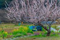 巾着田の桜、咲き始める - デジカメ写真集
