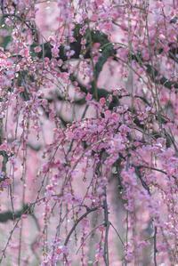 梅花のかほり。。。4 - 気ままにお散歩